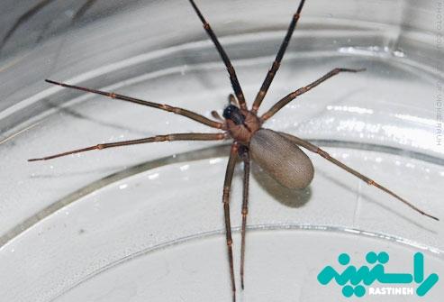 عنکبوت های منزوی قهوه ای