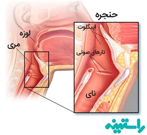 ساختاری حنجره