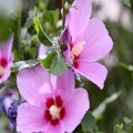گل-ختمی