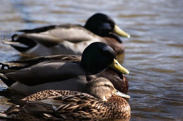 خواب اردک ها