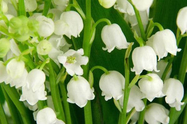 زنبق الواری