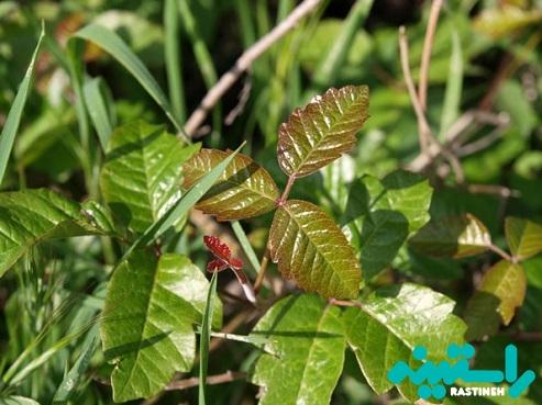 گیاهان حساسیت زا