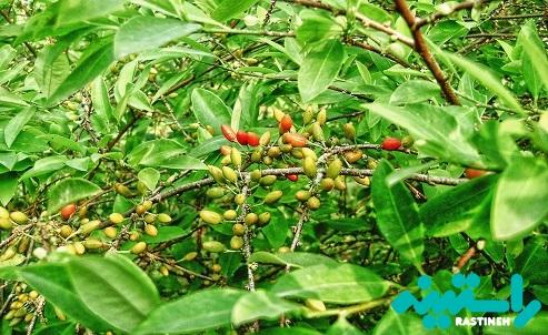 برگهای کوکا