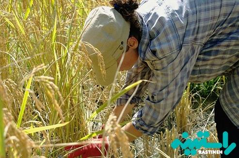اثر قرص برنج بر محیط زیست