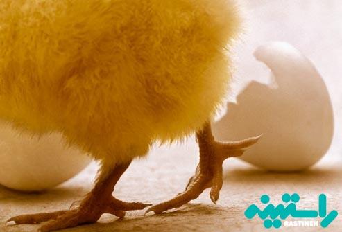 سالمونلا: مرغ و تخم مرغ