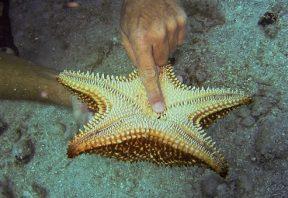 گزیدگی ستاره دریایی
