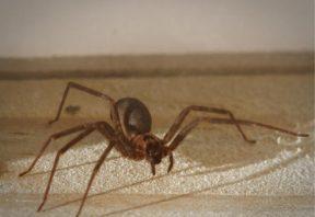 عنکبوت گوشه نشین